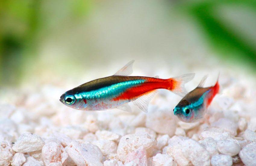 Ikan Tetra